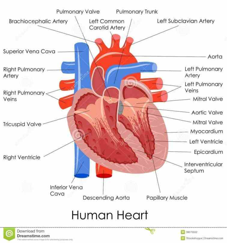 Interior View Of The Human Heart Pictures Wallpapers