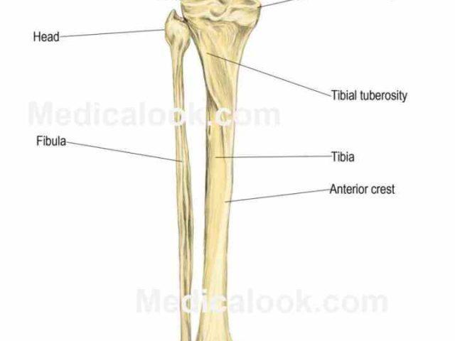 Tibia and fibula anatomy