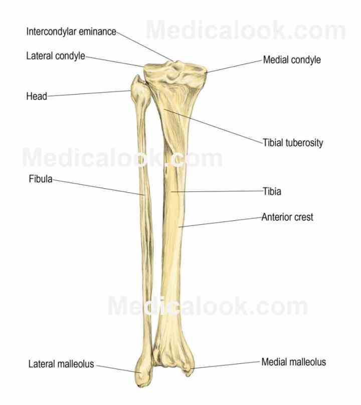 tibula fibula diagram anatomy tibia and fibula diagram | medicinebtg.com