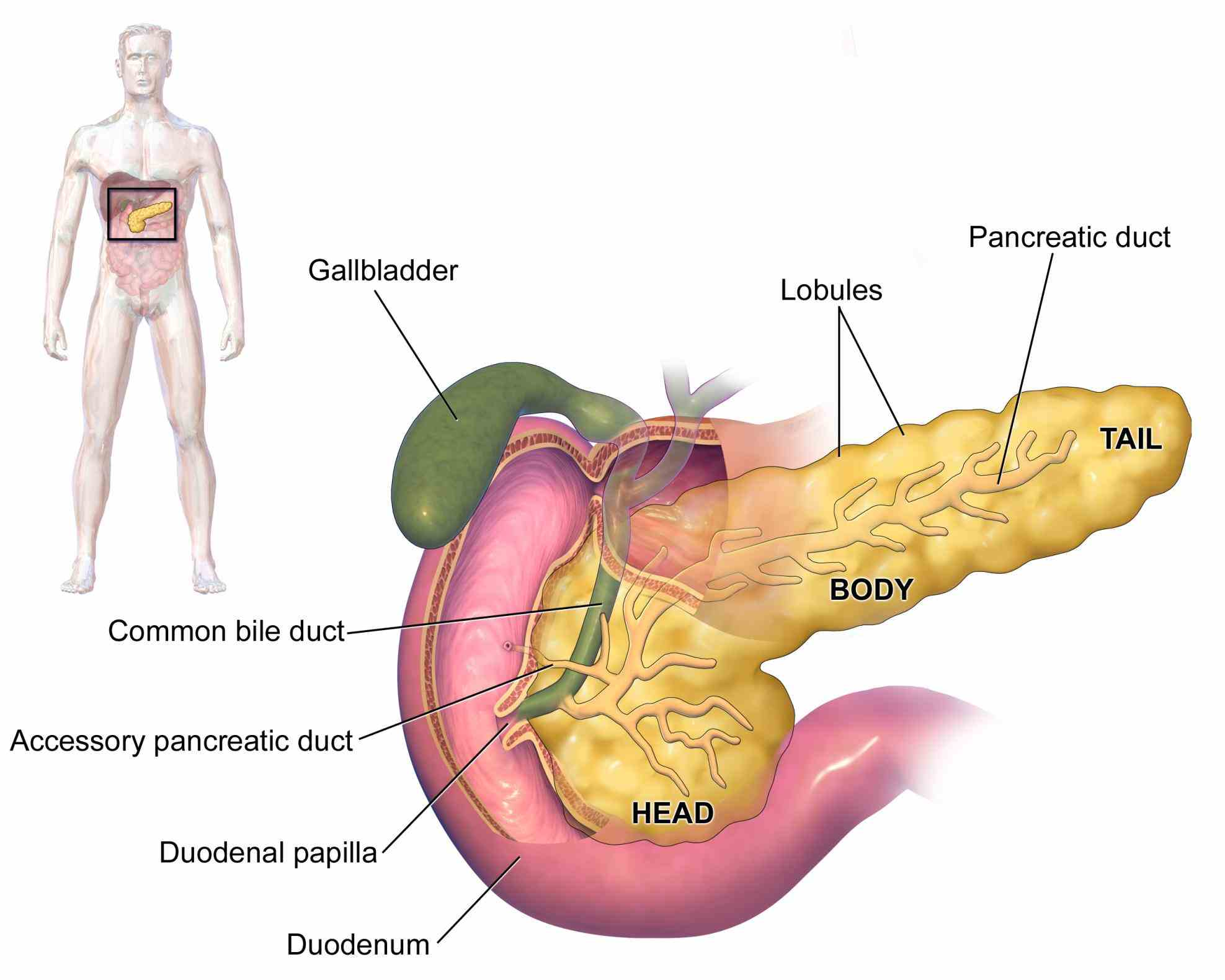 glands and their sugar mineral homeostasis heart rate digestion are among the Glands In Digestive System Anatomy human digestive