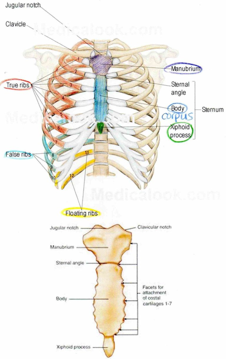 Anatomy Sternum Images - human anatomy organs diagram