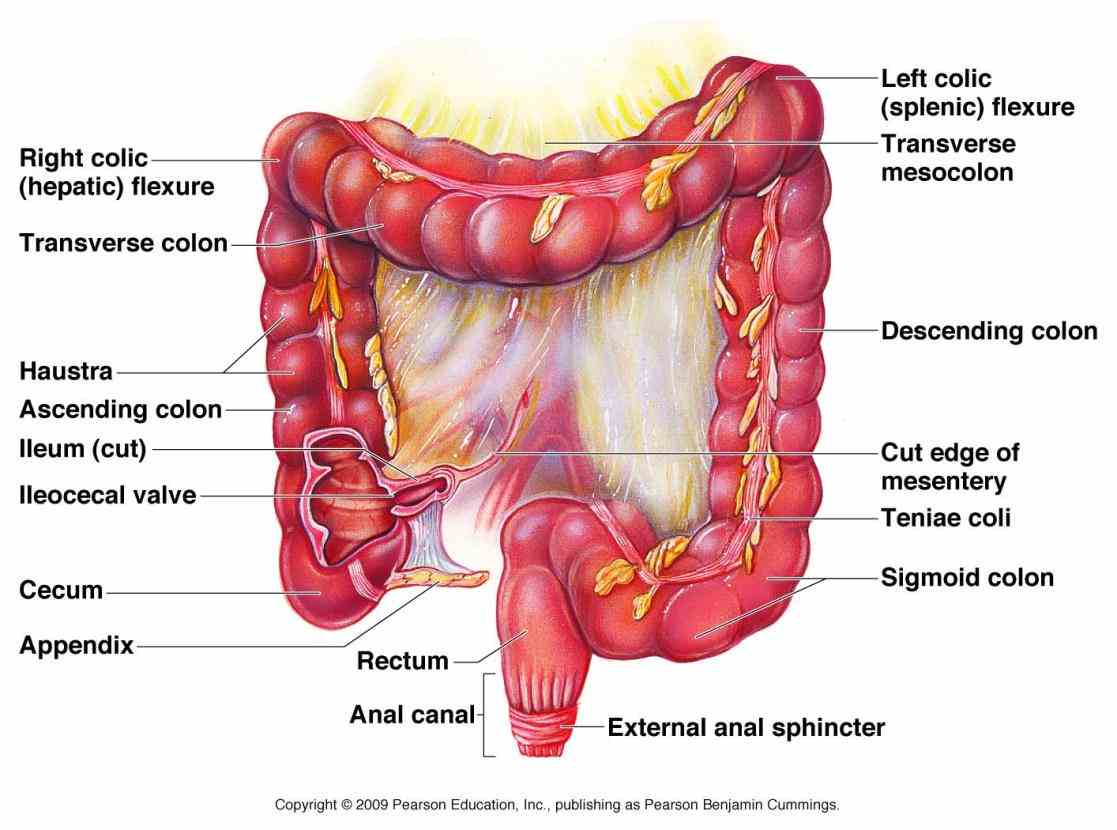 greatest mass length of alimentary canal with the  learn Anatomy Of The Large Intestine more about anatomy of the