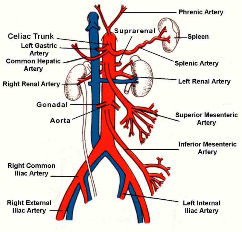gross anatomy the common iliac artery bifurcates into internal and external at level of pelvic brim anterior to the
