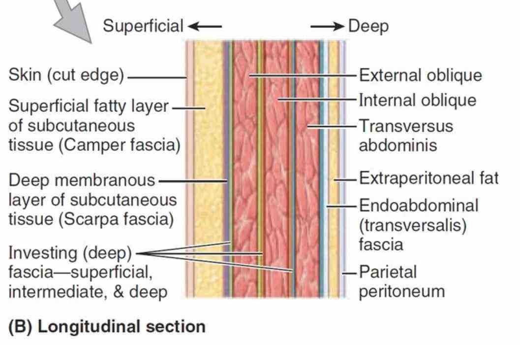 have an deep this muscle a well formed layer fascia called the  ir Abdominal Fascial Layers Anatomy para layers