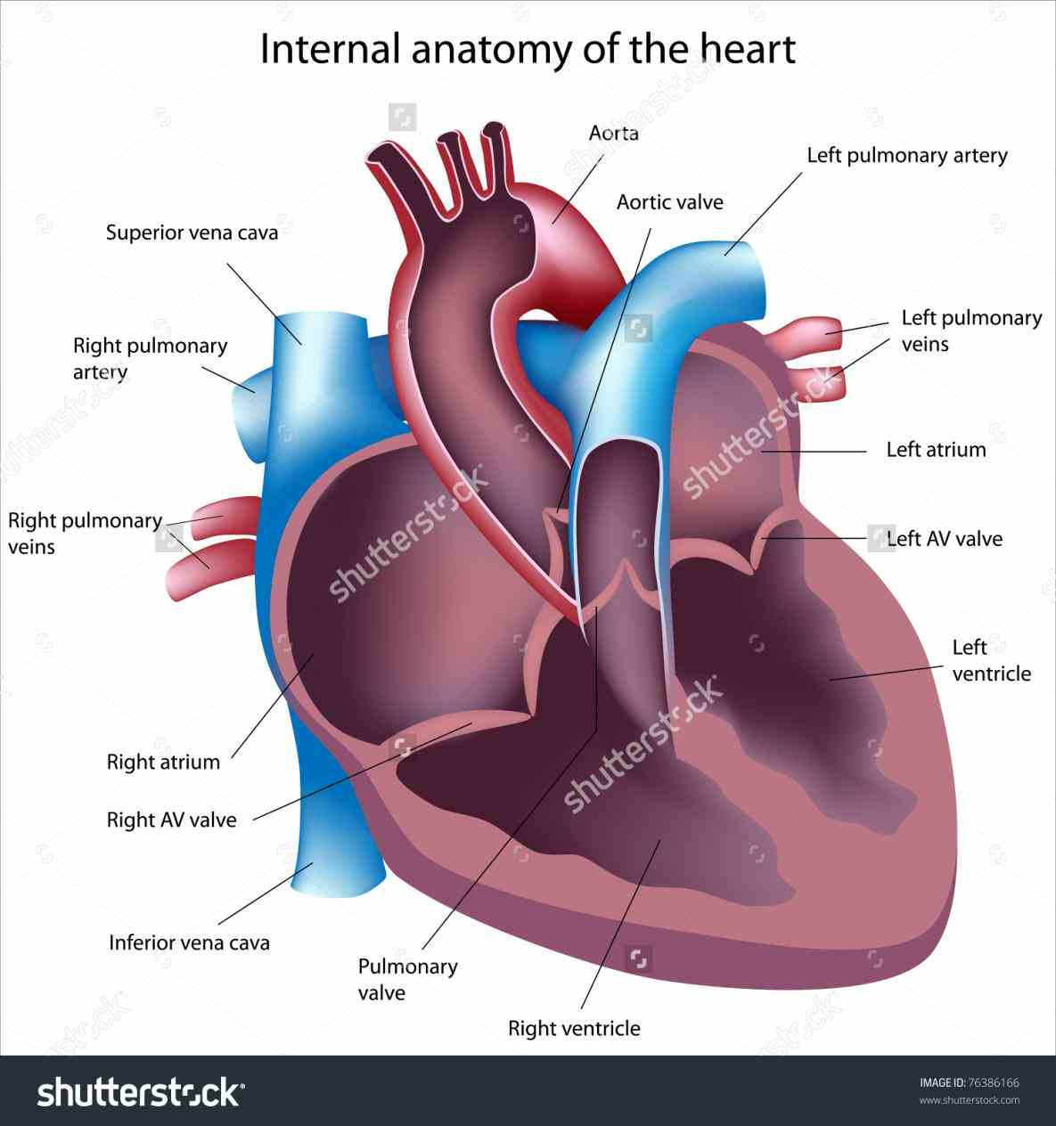 Image Of The Heart Labeled Pictures Wallpapers