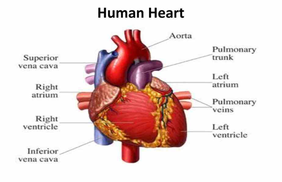 Image Of Heart In Human Body Pictures Wallpapers