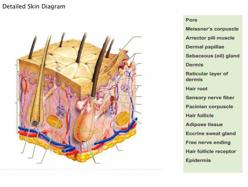 histology illustrations title · • file name skin labels illustration papilla of the hand illustration  the Pictures Of The