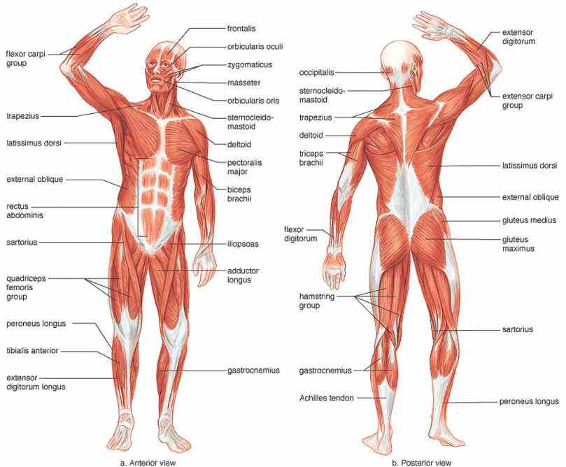 human Main Parts Of The Muscular System muscular system – the muscles of body are illustrated and attached