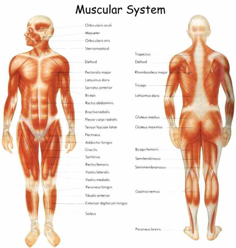 human body from posterior view diagram Labelled Muscular System Diagram of human muscle system u onehotbitchcom muscular labelled anatomy