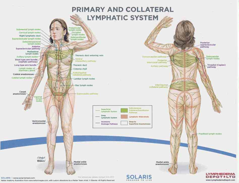 Female Lymphatic System Anatomy Diagram Pictures Wallpapers
