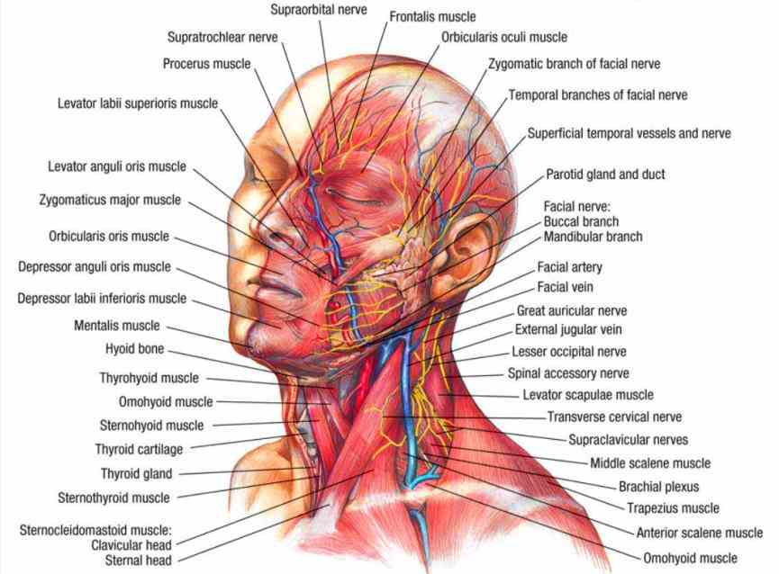 human muscle anatomy  see Labeled Illustration Head And Neck Diagram a rich collection of stock images vectors or photos
