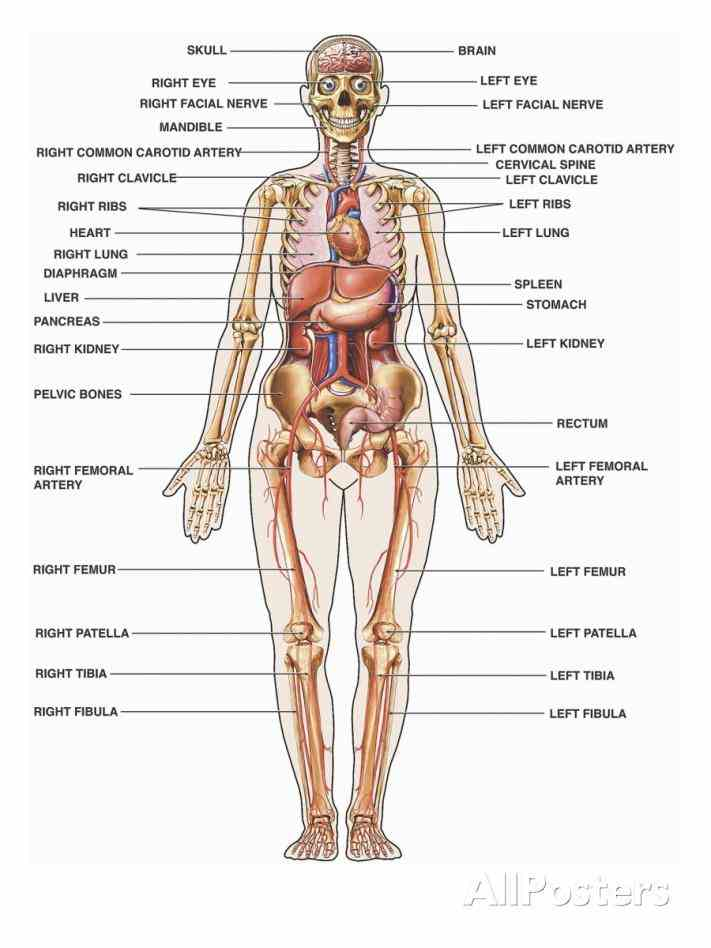 Chart Of Human Body Organs Anatomy Pictures Wallpapers