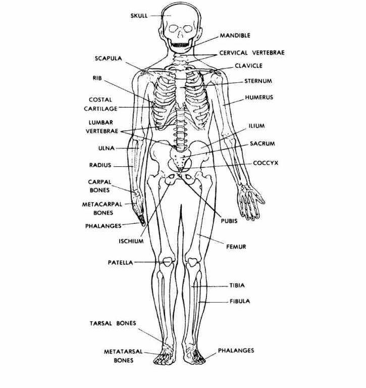 human skeleton diagram labeled unlabeled and blank