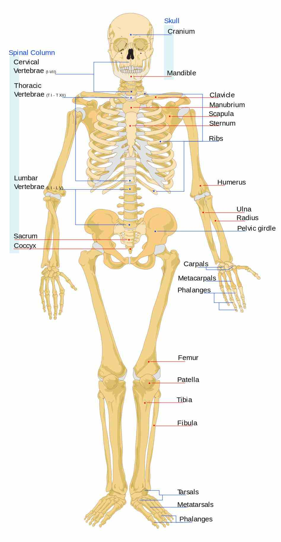 human skeleton is made up of bones functions are to provide support give our bodies shape protection other systems