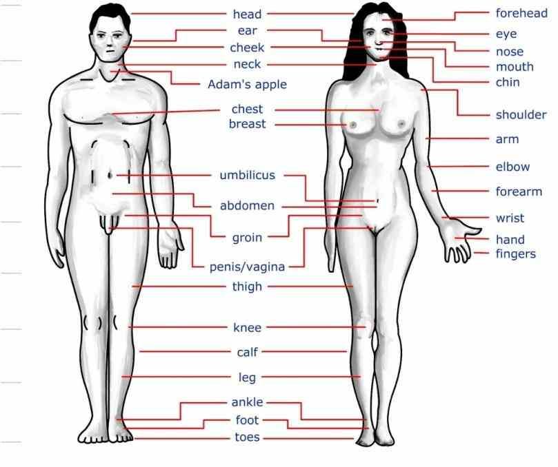 "illustration human parts"" illustration  anatomical Diagram Of The Human Body With Labels diagram showing a front view of organs"