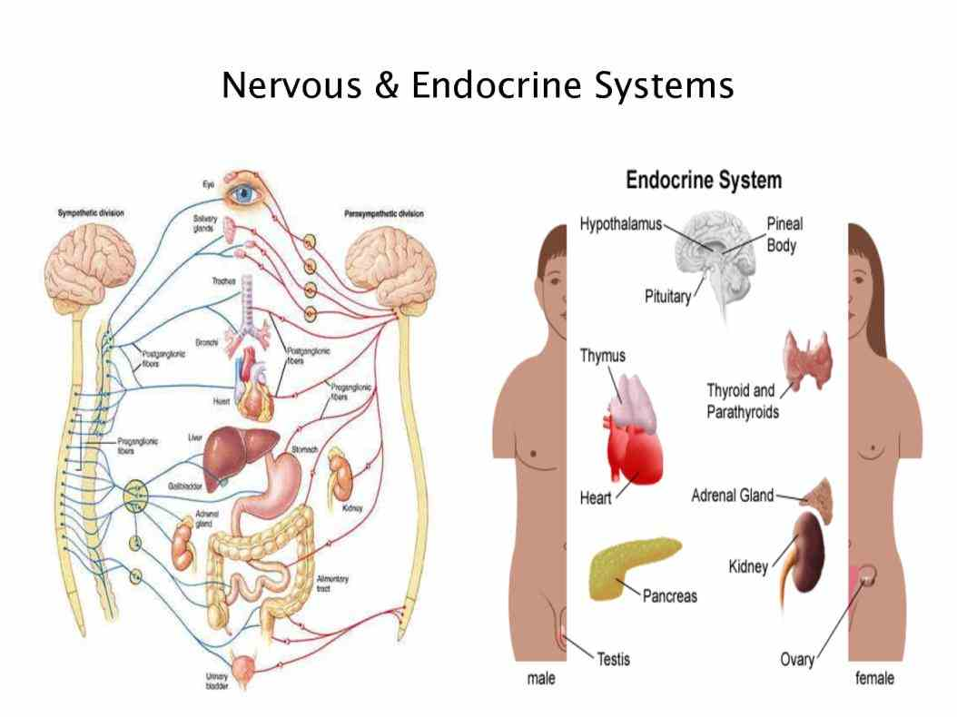 the foundation of the endocrine system The disorder causes more than one gland in the body's endocrine system to develop growths the pituitary foundation - uk national charity telephone:.