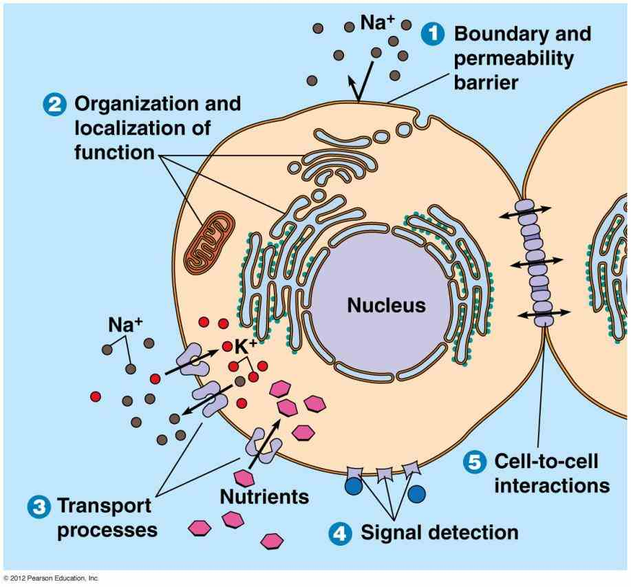 Glycoproteins In The Cell Membrane Pictures Wallpapers