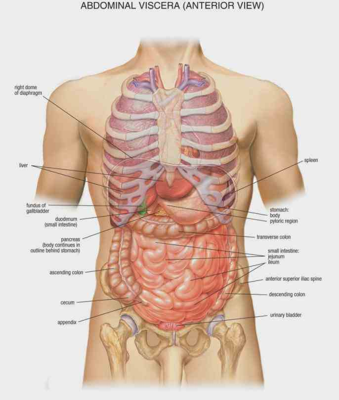 Anatomy Of The Body Liver Pictures Wallpapers