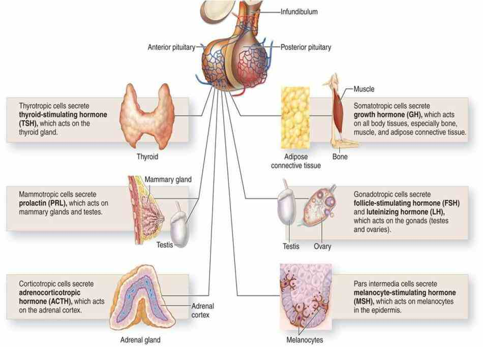 Endocrine System Structures And Functions Pictures Wallpapers