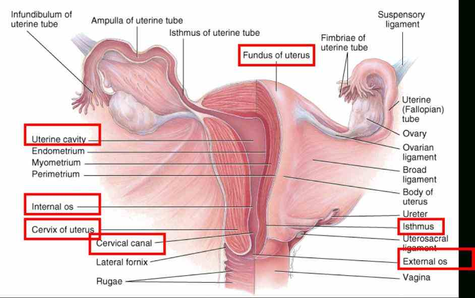 Ligaments Of The Female Reproductive System Pictures Wallpapers
