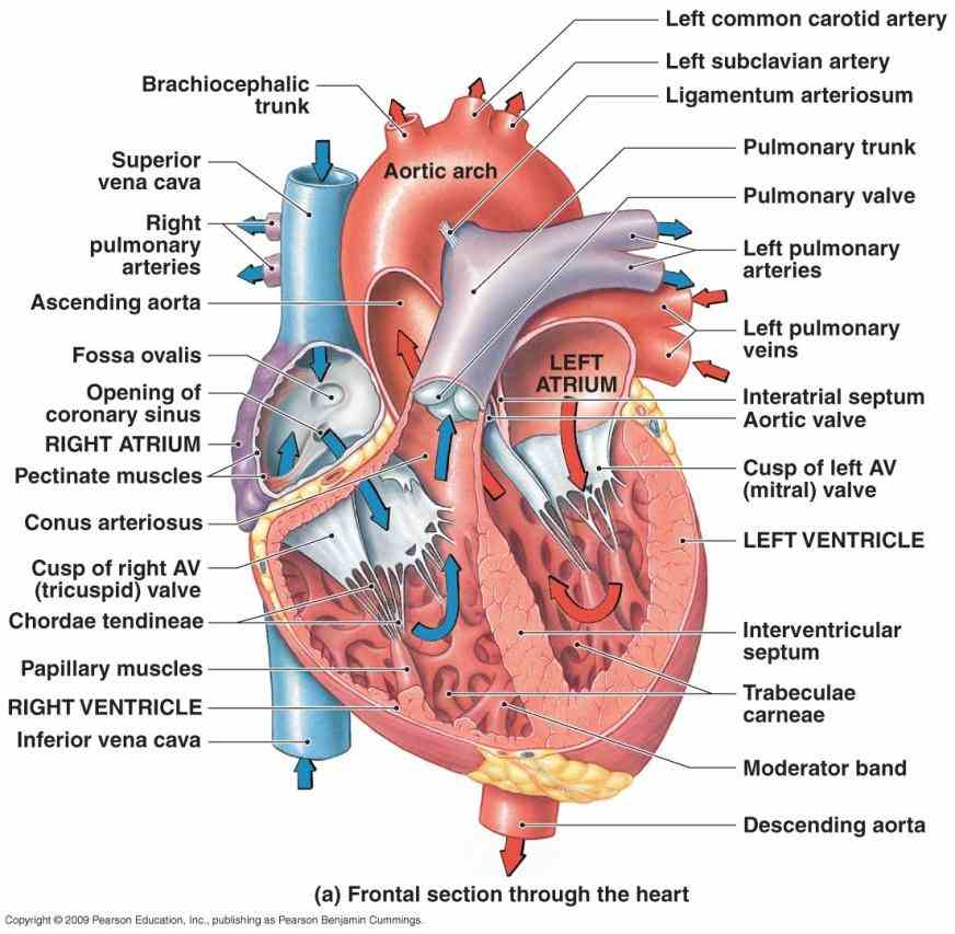 in left atrium filling it up this initiates a contraction of walls forcing mitral  the Heart Diagram With Labels