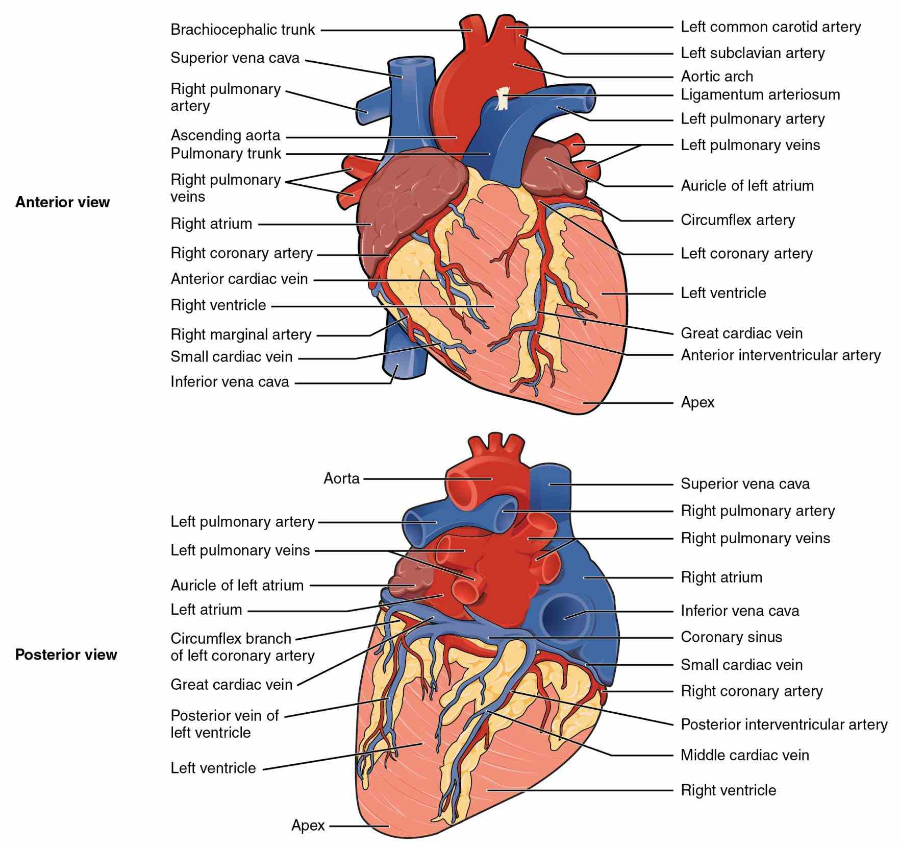 in length illustration external with their parts internal External Structures Of The Human Heart and external structure of the