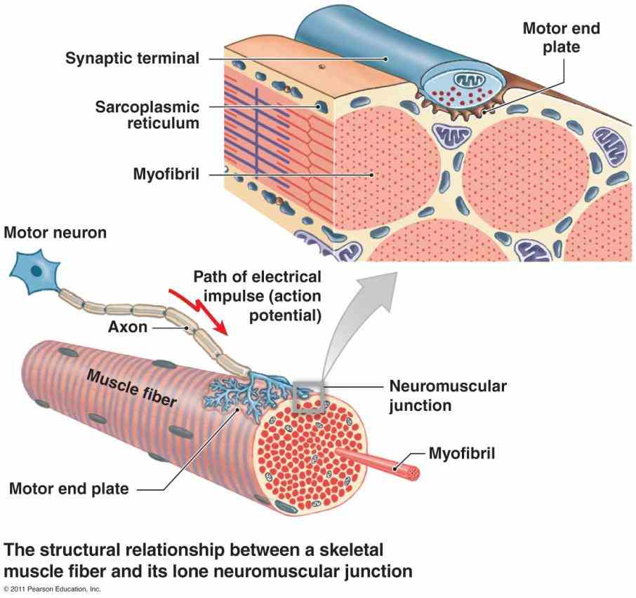 in section a Anatomy Of Neuromuscular Junction neuromuscular junction is synapse between motor neuron and skeletal in this lesson