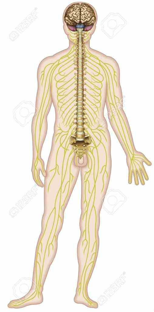 All The Nerves In The Human Body Pictures Wallpapers