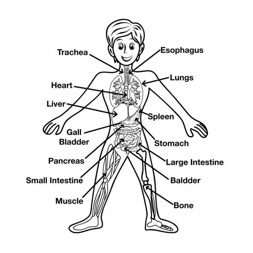 in the human body anatomy click on labels below to find out more about your the Diagram Of The