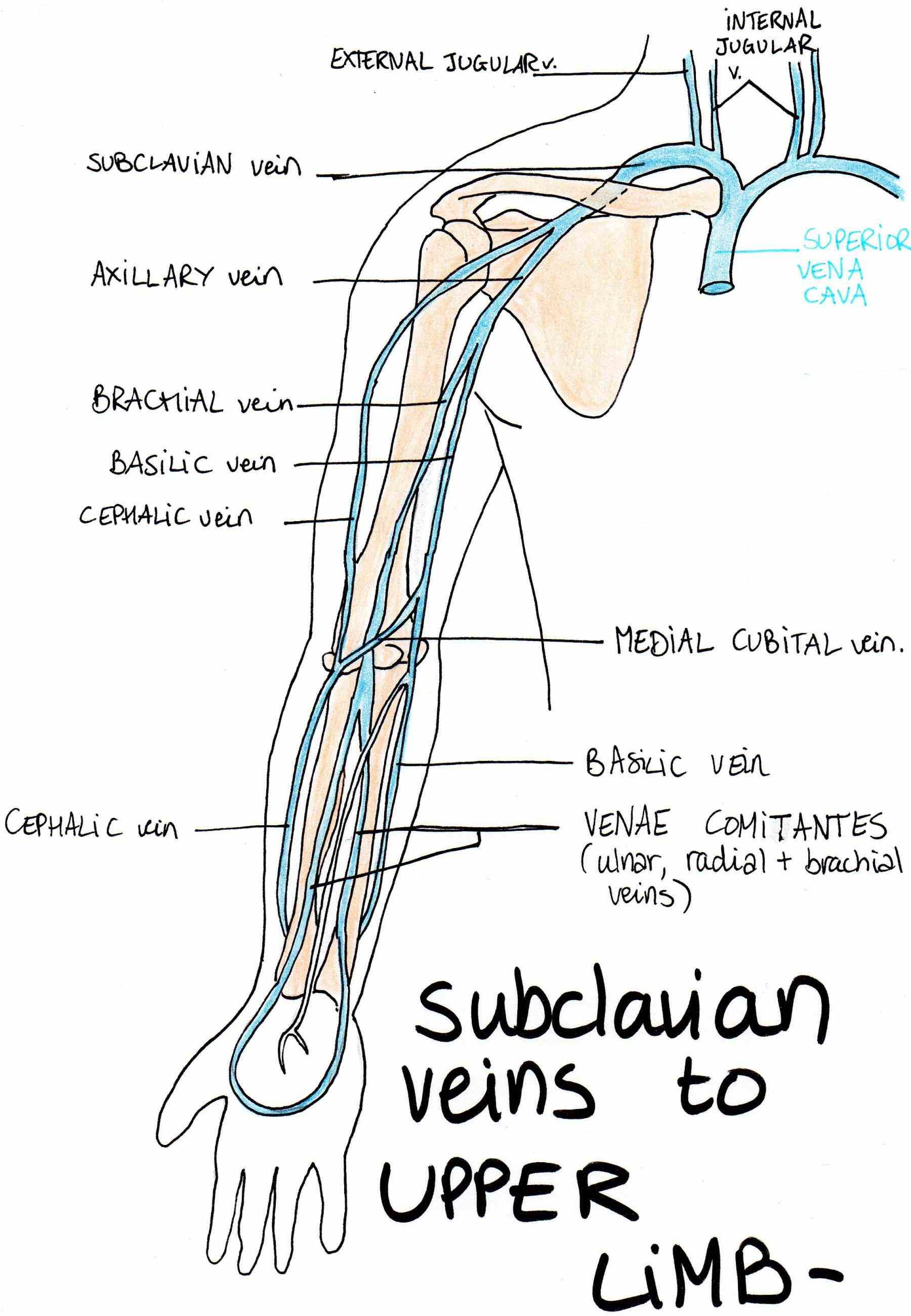 Upper limb vein anatomy