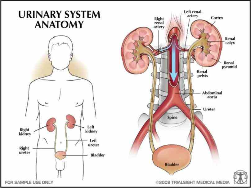 in vertebrates the organs concerned with reproduction and urinary excretion although their functions are urogenital Anatomy Of Urogenital System