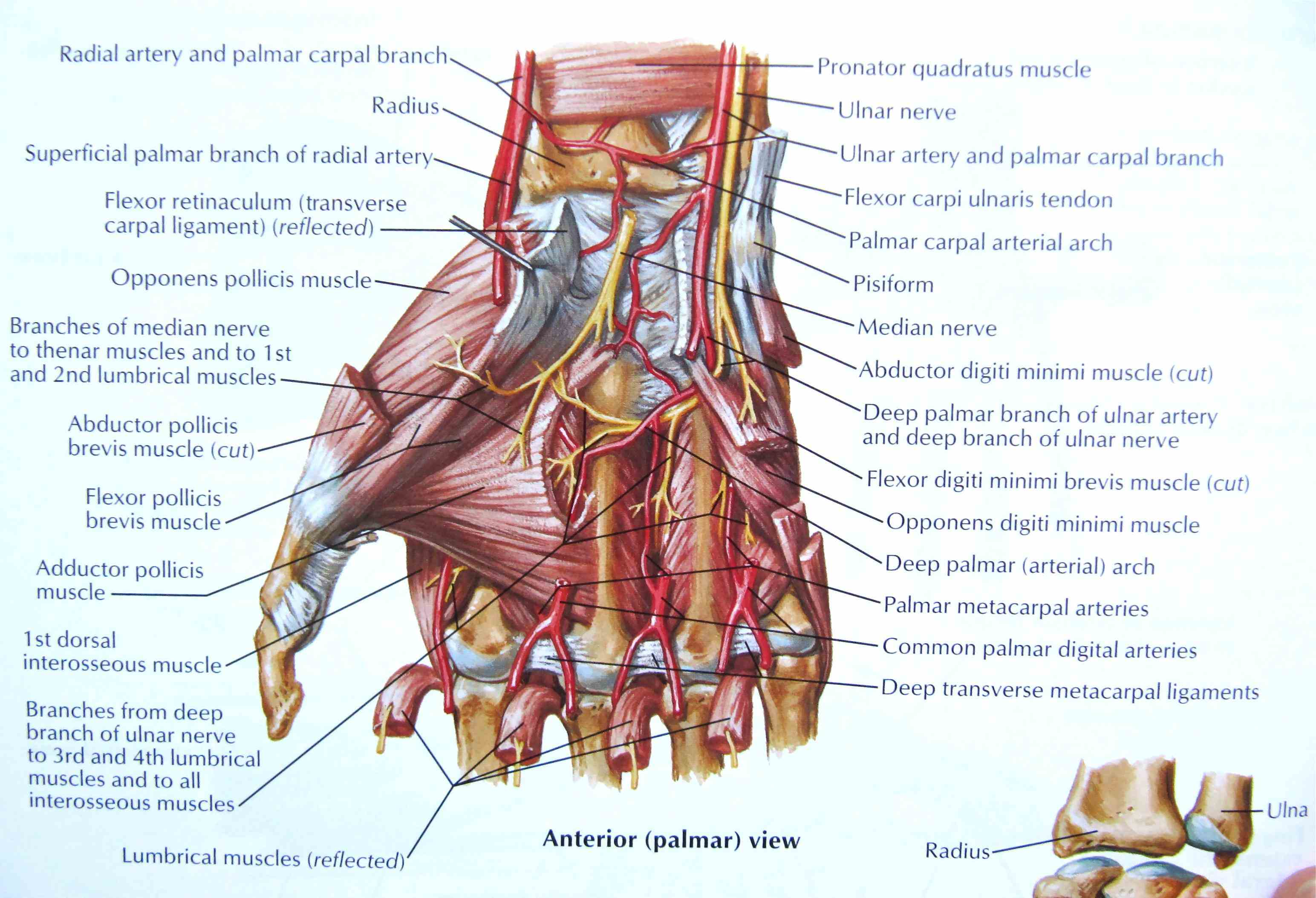 Human Hand Muscles Image Pictures Wallpapers