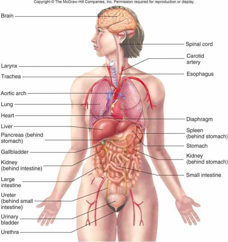 Picture Of Human Body With Organs Labeled Pictures Wallpapers