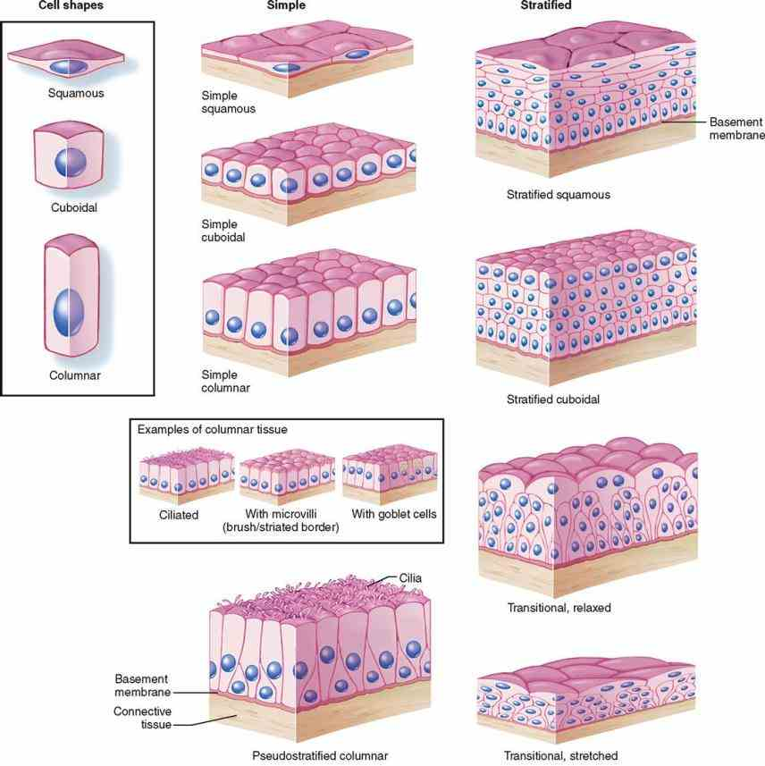 Cells In The Epithelial Tissue Pictures Wallpapers