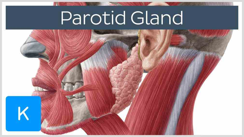 Glands In The Mouth Anatomy Pictures Wallpapers