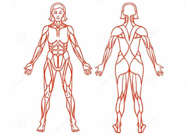 Interactive Pictures And Descriptions Thousands Objects In The Body The Female Muscular System Diagram Anatomy Muscular System Is  prised