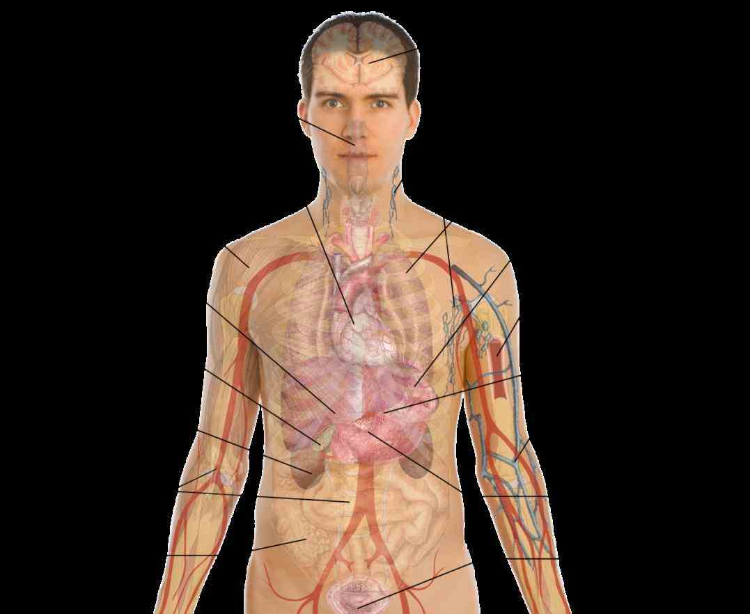 Location Of Human Body Organs Pictures Wallpapers