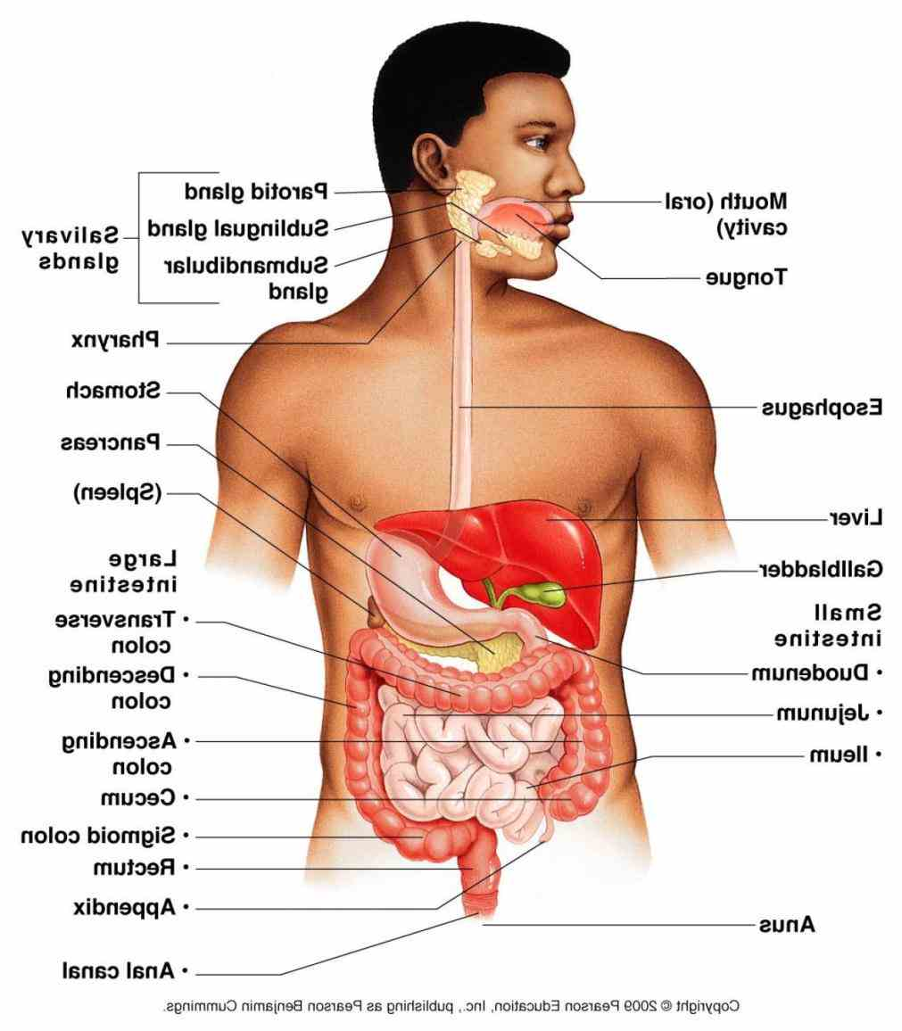 intestines in front body signature picture Images Digestive System Human Body Anatomy of d image the human digestive system