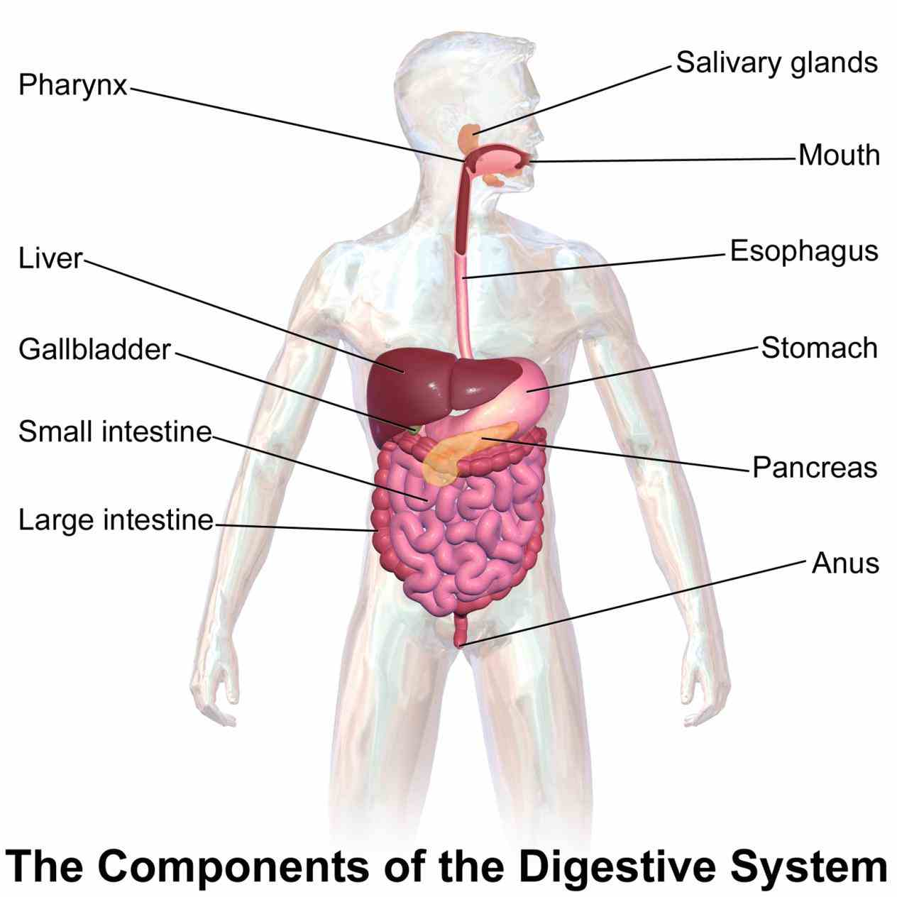 Major Organ Of Digestive System Pictures Wallpapers