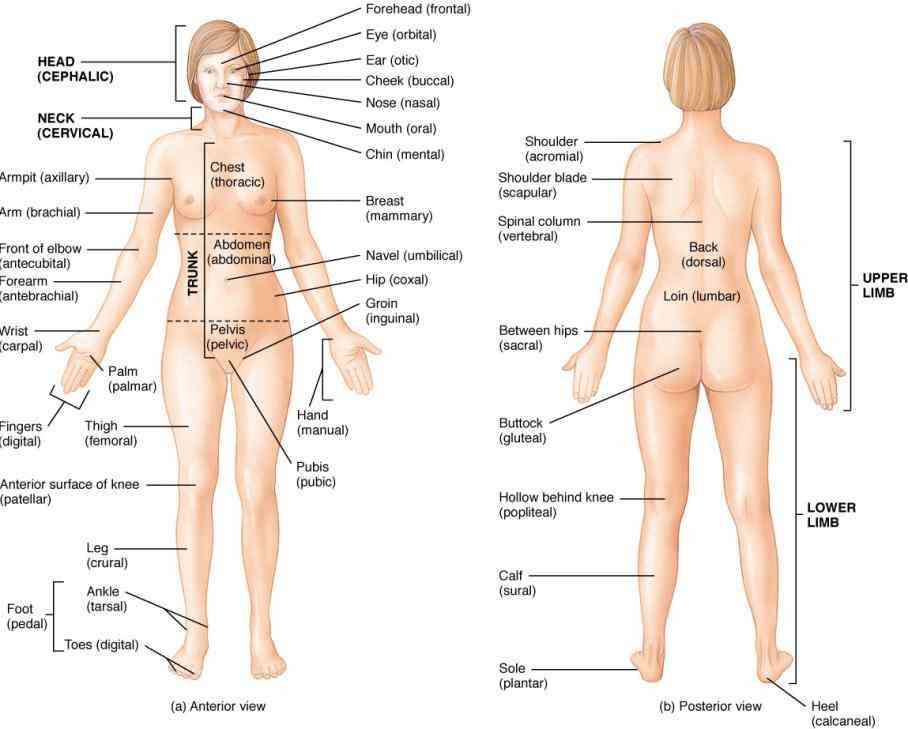 introduction; Anterior Body Region Containing The Chest various regions of the body; dorsal and ventral body cavities collage on
