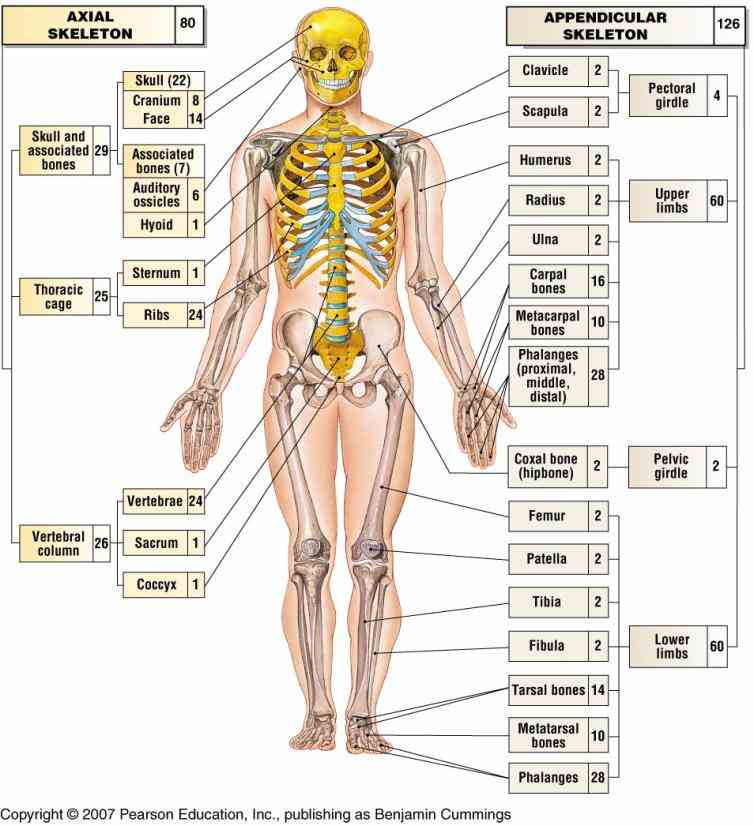involved locomotion  the Appendicular Skeleton Anatomy Parts appendicular skeleton includes bones of shoulder girdle upper limbs pelvic and lower