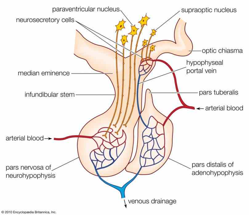 Anatomy Of The Pituitary Gland Pictures Wallpapers