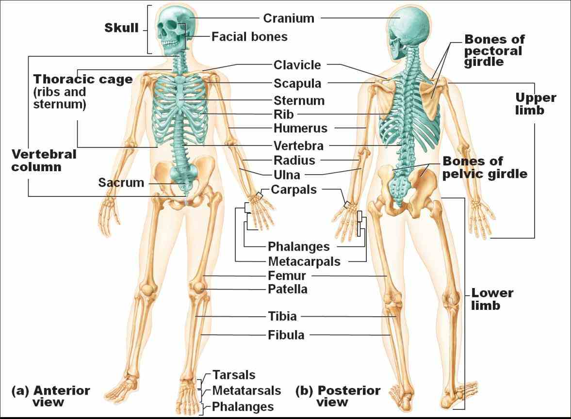ir Appendicular Skeleton Anatomy Parts para human structure of the bones in skeleton appendicular comprises functionally it is
