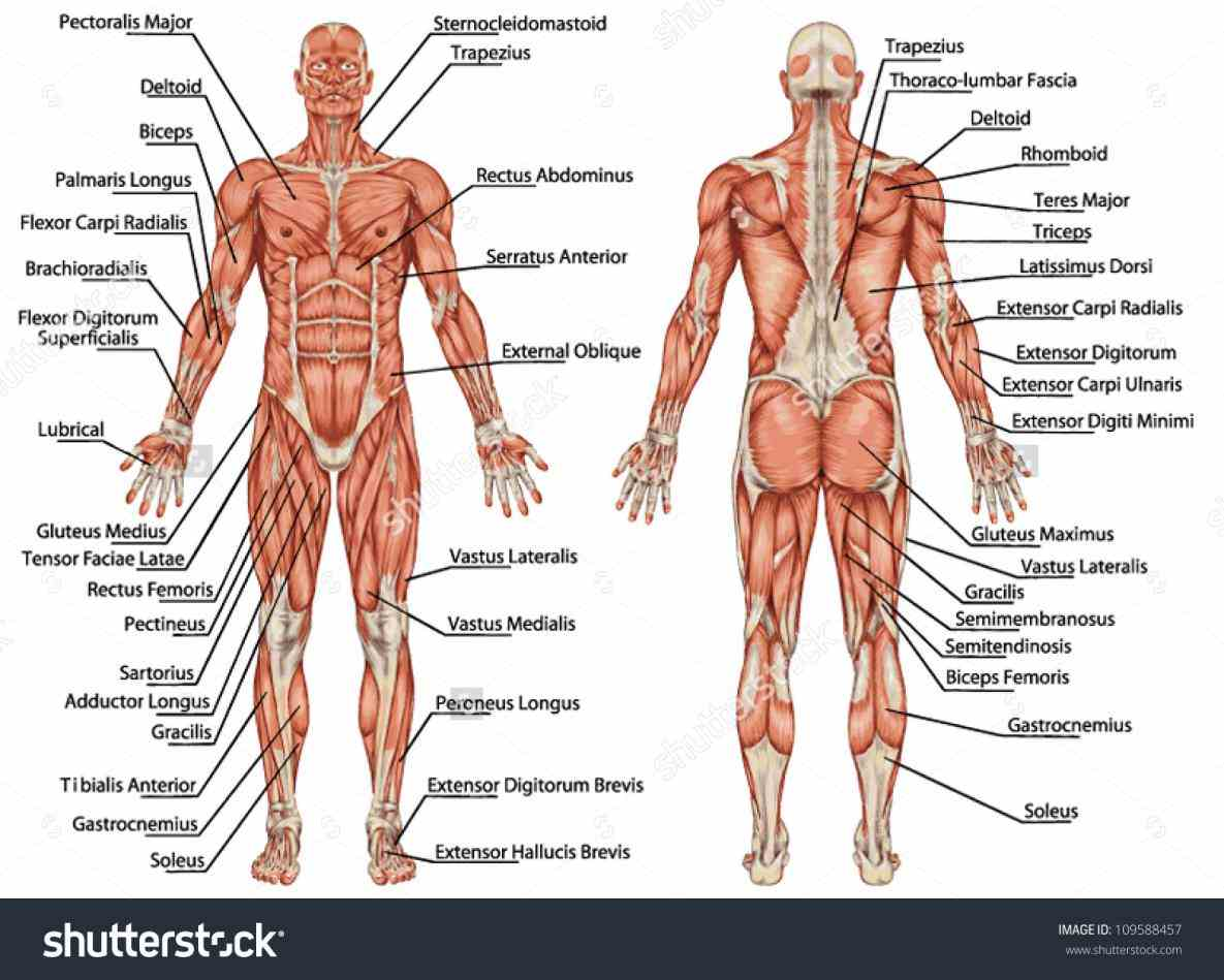 is composed of specialized cells called muscle fibers their predominant function contractibility muscles attached to bones or internal shows