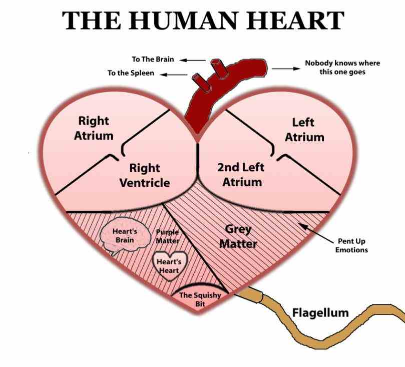 is correct you  photo Heart Diagram With Labels And Functions description this is an excellent human heart diagram which