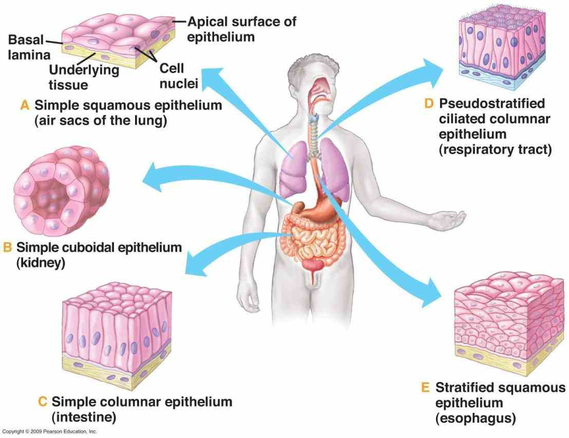 is most common type stratified epithelium in human body b Epithelial Tissue Human Body the cells rest on a