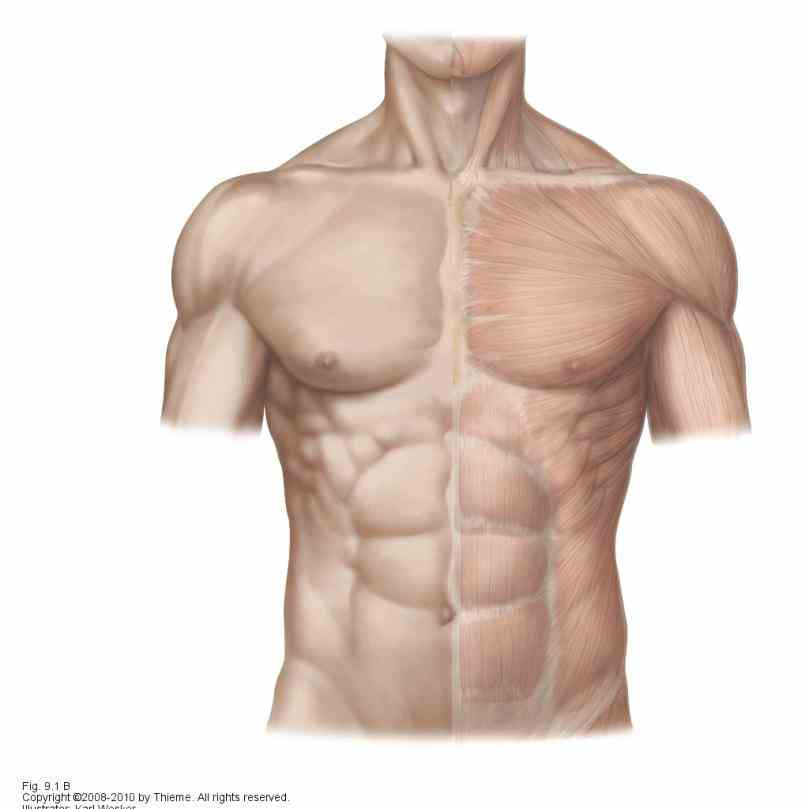 Anatomy Of Stomach Muscles Pictures Wallpapers