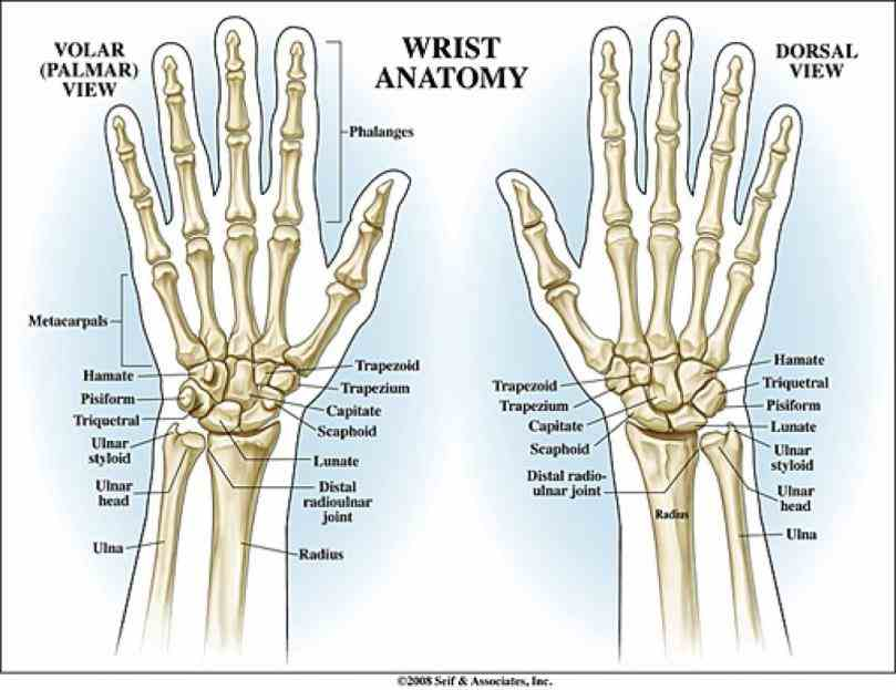 it actually collection of multiple bones and joints the Anatomy Of The Wrist Bones bones of hand and wrist