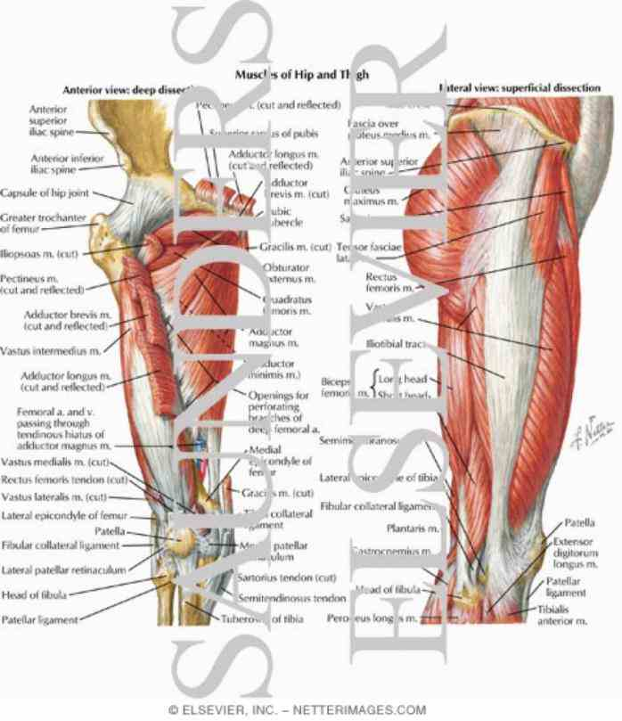 it bears our bodys weight and force strong muscles leg surrounding are many tough ligaments that prevent dislocation this