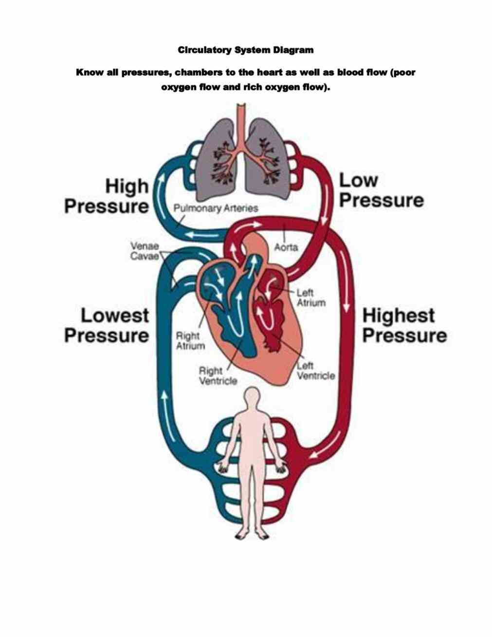 it bodys distribution to organs with the Diagram Of Cardiovascular System circulatory system is a bodywide network of blood